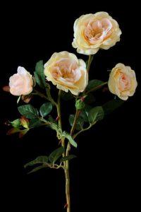 Cream spray of Roses