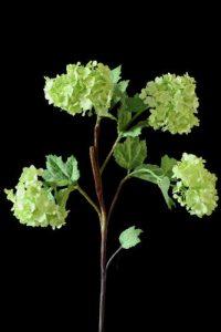 Pale Green Viburnum